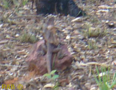 OK not a clear photo but have you ever tried to get a Frilled neck Lizard to pose for a photo.